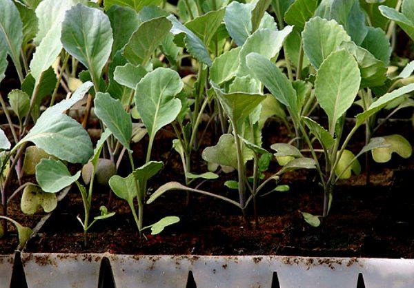 Все тонкости выращивания цветной капусты. Без аллергенный продукт для детей