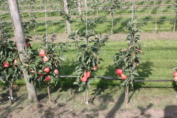 04-apple-tree