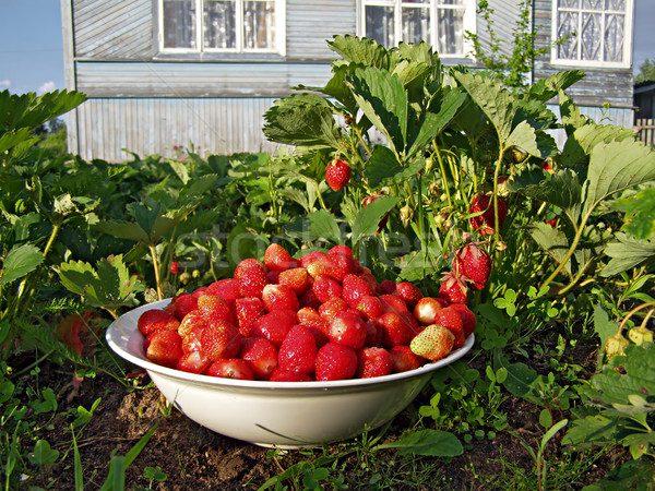 1333786_stock-photo-strawberries-in-vegetable-garden
