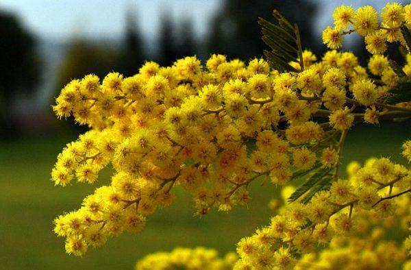 1394605075_mimosa-perfume-3