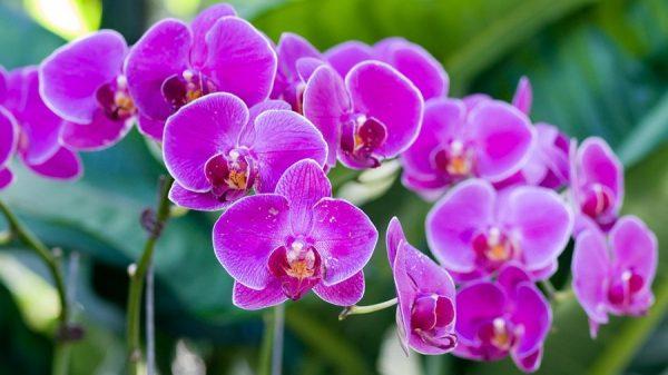 1501059117_phalaenopsis
