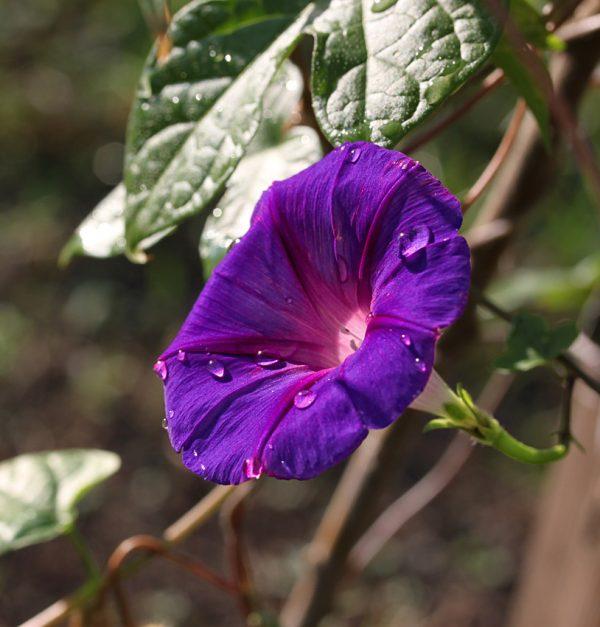 Веселые граммофончики вьюнка. Самый неприхотливый и красивый цветок