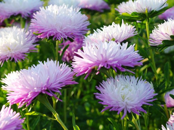 Autumn-flowers-asters_1600x1200