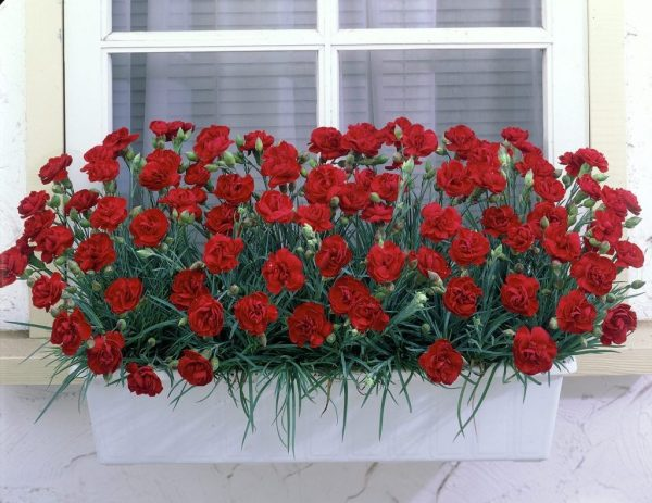 Dianthus-chabaud-2
