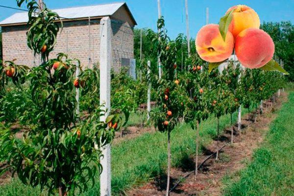 Gde-luchshe-posadit-sazhenets-persika