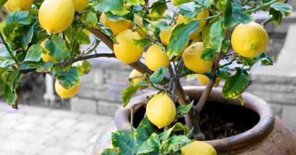 Kak-vyrastit-limon-v-domashnih-usloviyah