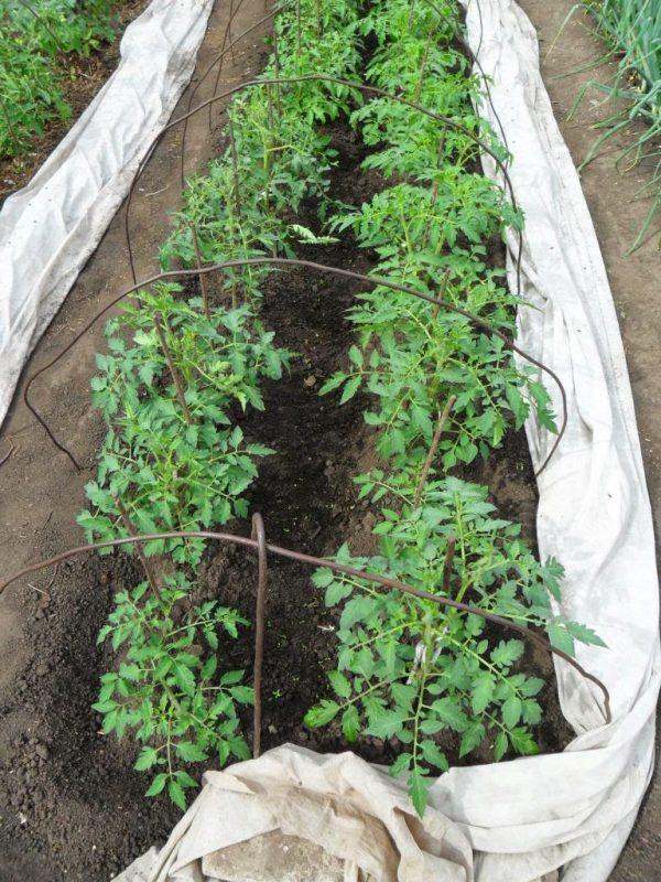 Kogda-sazhat-pomidory-v-otkrytyj-grunt-rassadoj-2