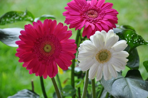 Nature___Flowers_Beautiful_gerbera_on_the_dacha_066770_