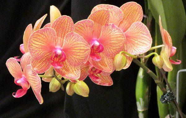Orhideya-Falenopsis-600x381