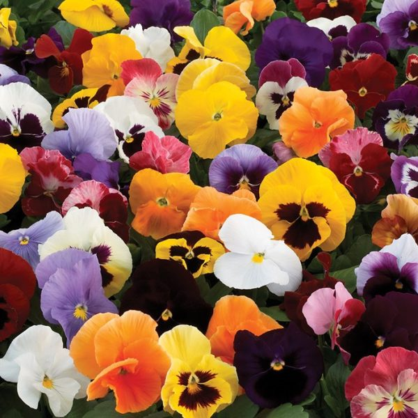 Pansy-Colourburst-45-Ready-Plants