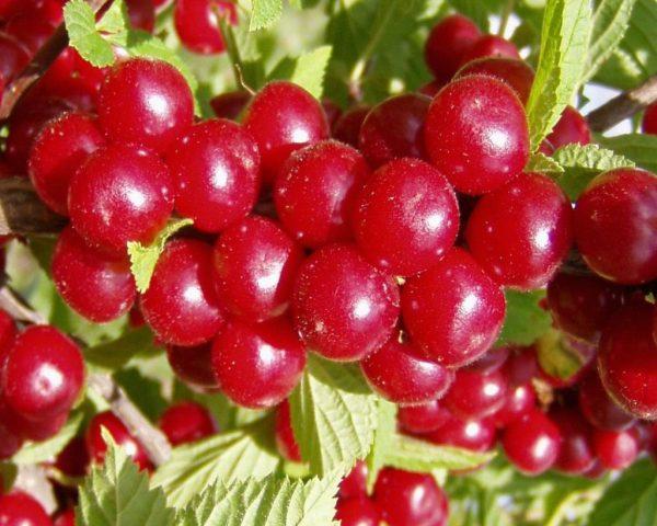 Prunus-tomentosa3