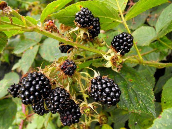 Rubus-fruticosus-04