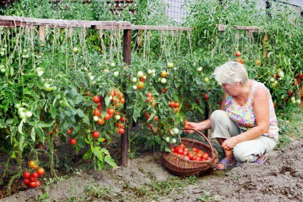Sbor-pomidorov-1024x683