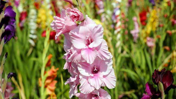 TSvety-gladiolusy-posadka-i-uhod-v-otkrytom-grunte-Foto-sortov-i-opisanie