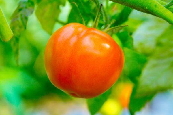 Tomat-persik-e1518639859568