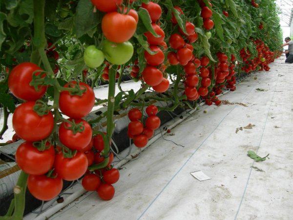 Tomat-teplitsa-1