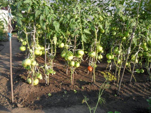 Ukhod-za-tomatami