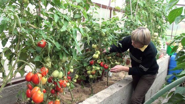 Vyrashhivanie-pomidorov-v-teplice