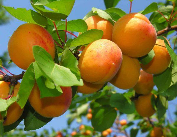 abrikos-1