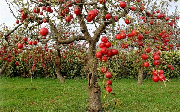 apple-tree-01