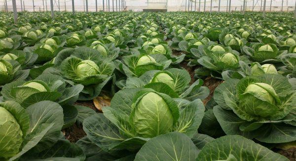 cabbage2-1