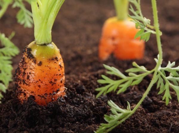 carrot-business