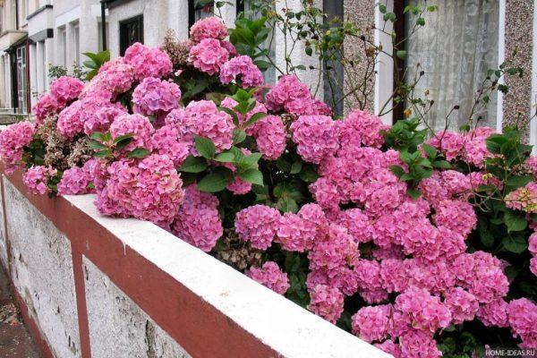 cvety-gortenzii-1024x682