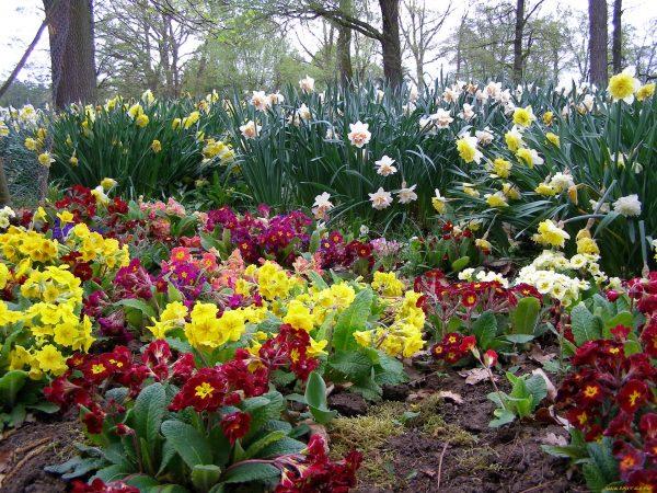 cvety-raznye-vmeste-primuly-narcissy-mno-611894