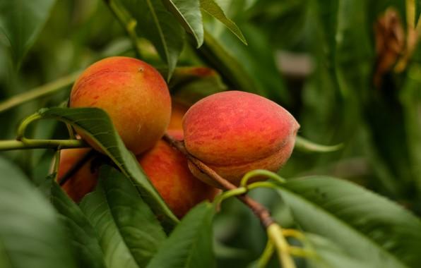 derevo-vetka-plody-persik