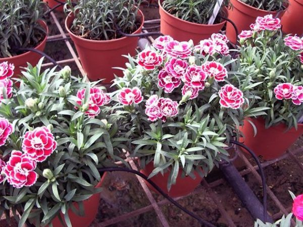 dianthus_chabaud3