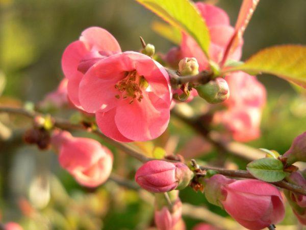 flowering_quince_chaenomeles_speciosa2