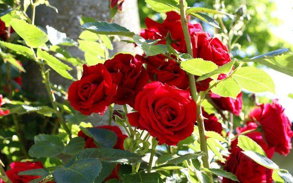 garden-red-rose-light-flower-plant-mood-flora-roses-petal-botany-land-plant-flowering-plant-shrub-floristry-garden-roses-rose-family-flower-bouquet-714239