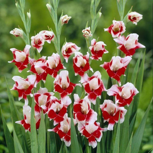 gladiolus-1-1024x1024