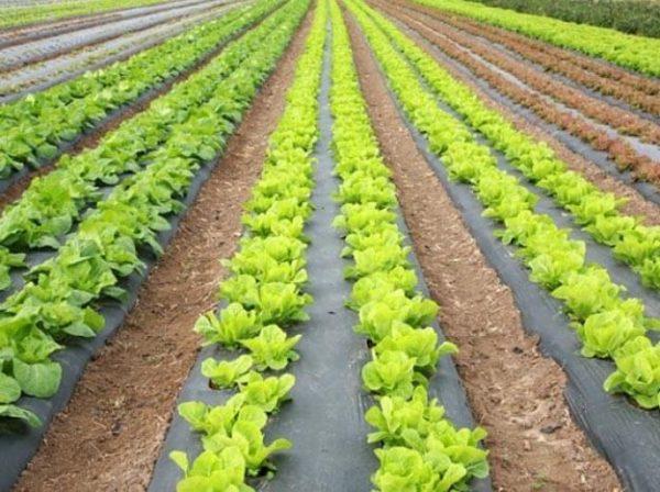 gryadki-s-salatom