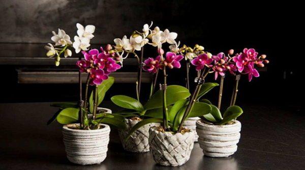 kak-peresadit-orhideju-v-domashnih-uslovijah-poshagovo-2