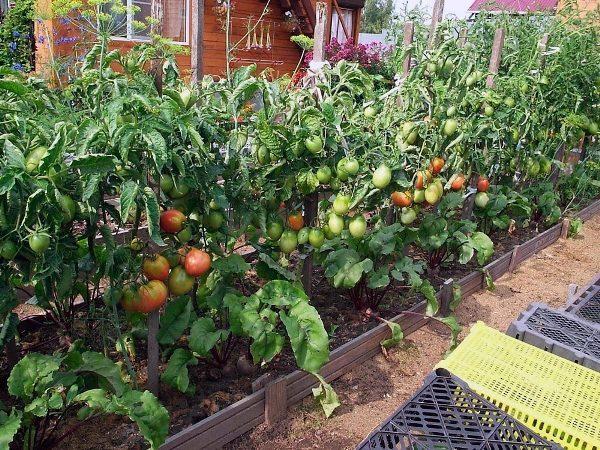 kak-uhazhivat-za-pomidorami-v-otkrytom-grunte5-600x450