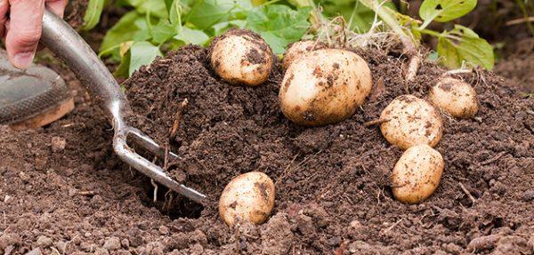 kartofel-posadka-uxod-vyrashhivanie-i-sbor-urozhaya-kartofelya-logo