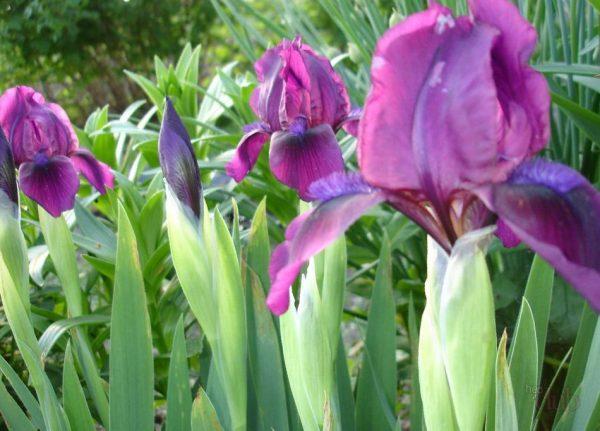 klumba-s-klassicheskimi-borodatimi-irisami-visazhennimi-osenyu