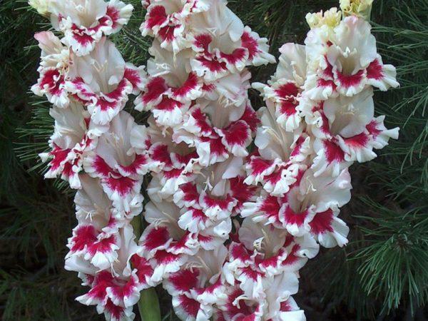 krasivyi-gladiolus