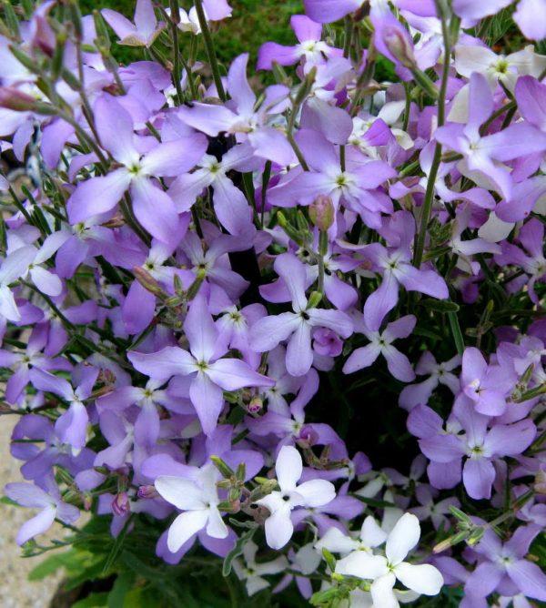 Маттиола Вечерний аромат — Сажаем маттиолу на своем участке!