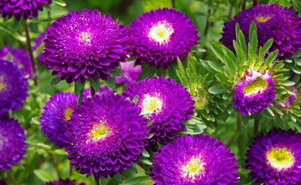 matsu-purple