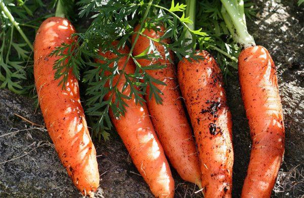 morkov-na-griadke-vyraschivanie-morkovi-v-otkrytom-grunte