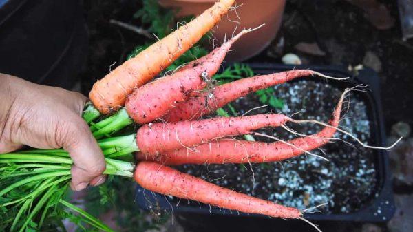 morkov-polza-dlja-zhenshhin