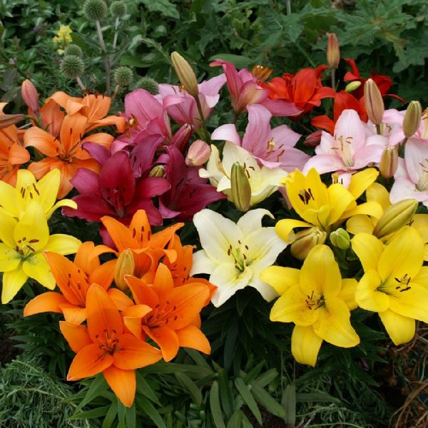 new-asiatic-lily-bulbs-fall-planted-mix-quick-view-spring-starlette-llfh