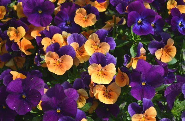 oboi-na-stol.com-288719-cvety-cvety-anyutiny-glazki-viola