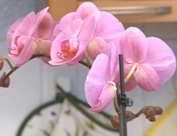 orhideya-falenopsis23_247