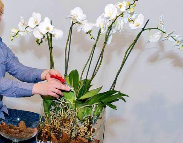 orhideya_falenopsis_7_15110633