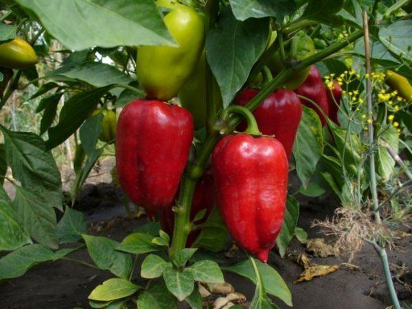 Правильный уход за болгарским перцем в открытом грунте. Секреты большого урожая!!