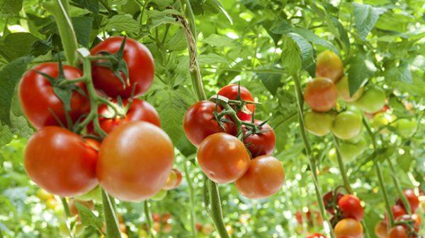 podkormka-tomatov