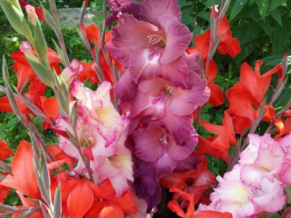 polivat_gladiolusy